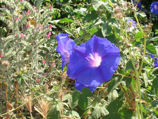 Cretan bell flower