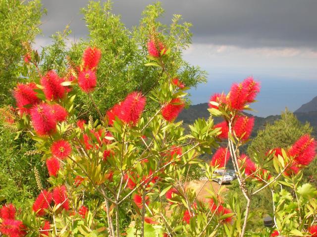'Kalistamonis' blossoms, Crete 2012
